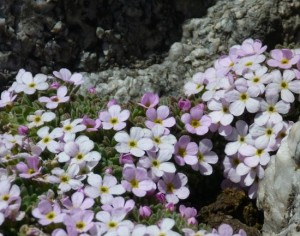 Tough high alpine flowers at 3500m on the Aiguilles Marbrees in June